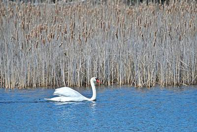 Poster featuring the photograph Trumpeter Swan 0967 by Michael Peychich