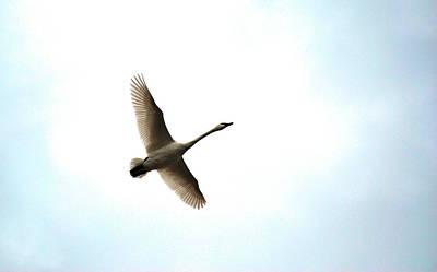 Trumpeter Swan In Flight Poster