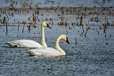 Trumpeter Swan - Pair Poster by Nikolyn McDonald