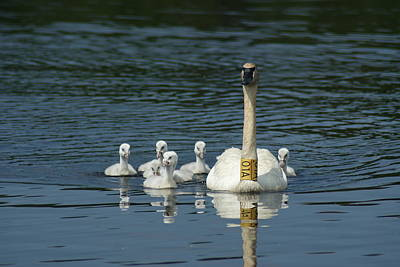 Poster featuring the photograph Trumpeter Swan With Cygnets by Ron Read