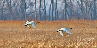 Trumpeter Swans In Flight Over Marsh  7382 Poster