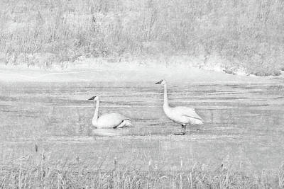 Poster featuring the photograph Trumpeter Swan's Winter Rest Gray by Jennie Marie Schell