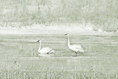 Poster featuring the photograph Trumpeter Swan's Winter Rest Green by Jennie Marie Schell