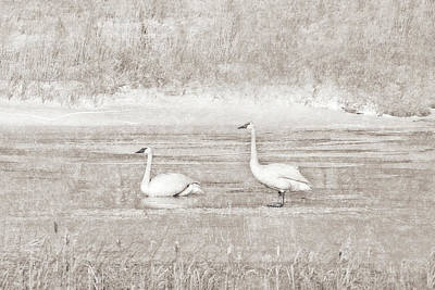 Poster featuring the photograph Trumpeter Swan's Winter Rest Beige by Jennie Marie Schell