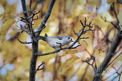Poster featuring the photograph Tufted Titmouse In Autumn by Kerri Farley