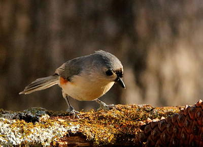 Tufted Titmouse In Fall Poster