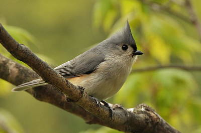 Tufted Titmouse In Sugar Maple Poster
