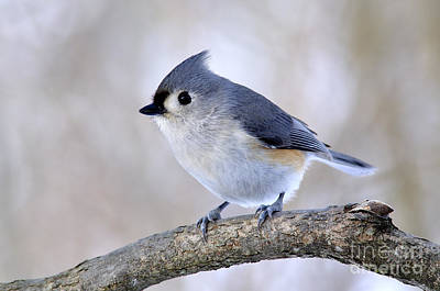 Tufted Titmouse On Dogwood 2 Poster by Thomas R Fletcher