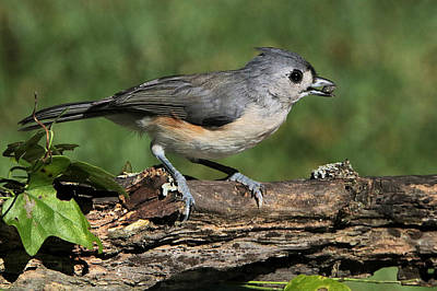 Tufted Titmouse On Tree Branch Poster