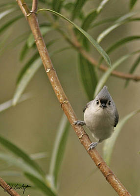 Tufted Titmouse Poster by Phill Doherty