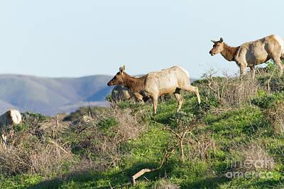 Tules Elks At Tomales Bay Point Reyes National Seashore California 5dimg9315 Poster by Wingsdomain Art and Photography
