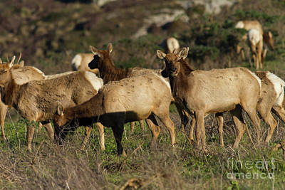 Poster featuring the photograph Tules Elks At Tomales Bay Point Reyes National Seashore California 5dimg9338 by Wingsdomain Art and Photography