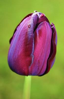 Tulip 1 Poster by Martina Fagan