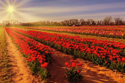 Poster featuring the photograph Tulip Farm Sunset by Susan Candelario