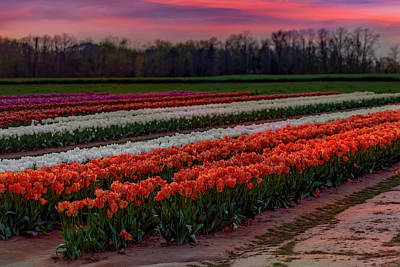 Poster featuring the photograph Tulip Farm by Susan Candelario