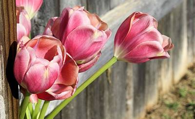 Tulip Fence Poster by Lynnette Johns
