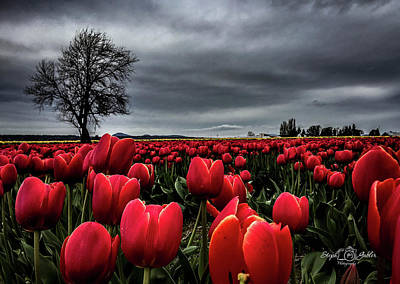 Tulip Fields Poster
