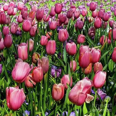 Poster featuring the photograph Tulip Flowers  by D Davila