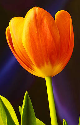 Tulip Poster by Marlo Horne