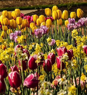 Tulip Spring Poster