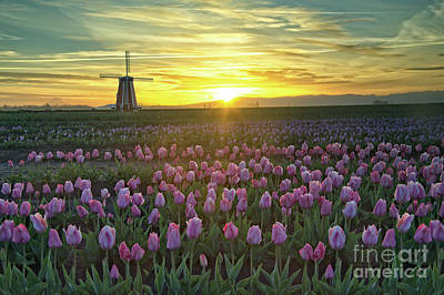 Poster featuring the photograph Tulip Sunrise by Craig Leaper