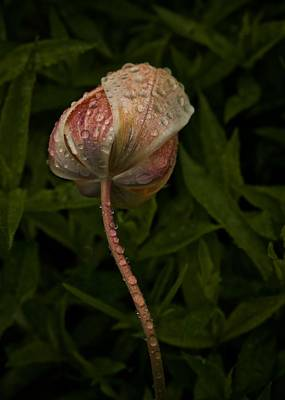 Poster featuring the photograph Tulip Tear Drops by Richard Cummings