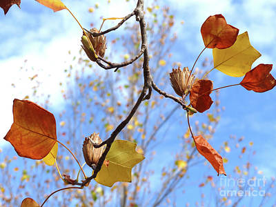 Tulip Tree Leaves And Seedpods Poster by Phil Banks