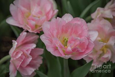 Tulipa Angelique Poster by Teresa Wilson