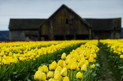 Tulips And A Barn Poster