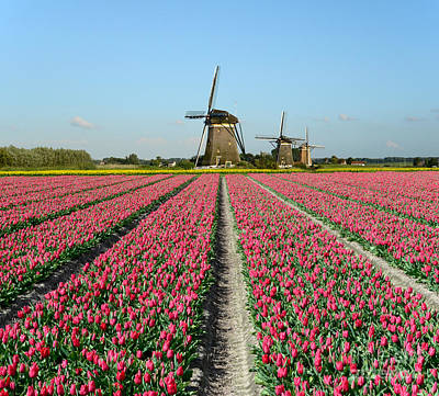Tulips And Windmills In Holland Poster