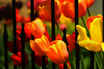 Tulips And Wrought Iron Poster by Lyle  Huisken
