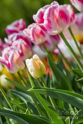Poster featuring the photograph Tulips by Angela DeFrias