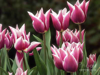 Tulips Bed  Poster