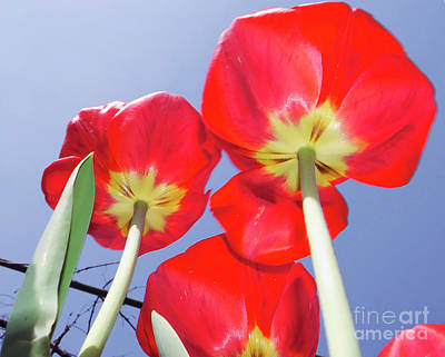 Poster featuring the photograph Tulips by Elvira Ladocki