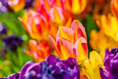 Tulips Enchanting 03 Poster by Alexander Senin