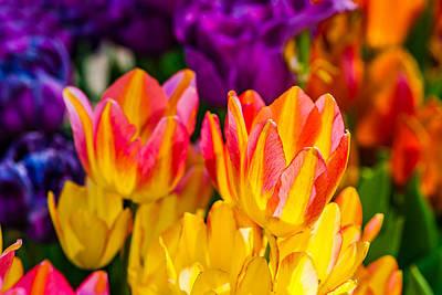 Tulips Enchanting 09 Poster