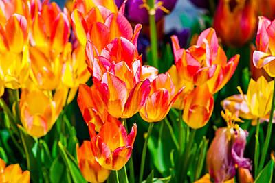 Tulips Enchanting 10 Poster
