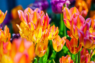 Tulips Enchanting 14 Poster