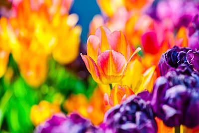 Tulips Enchanting 17 Poster by Alexander Senin
