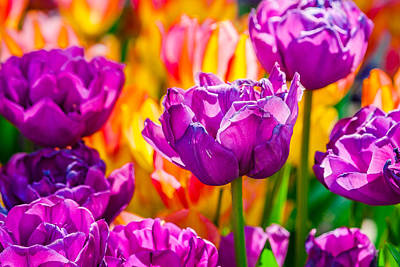 Poster featuring the photograph Tulips Enchanting 41 by Alexander Senin