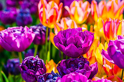 Poster featuring the photograph Tulips Enchanting 42 by Alexander Senin