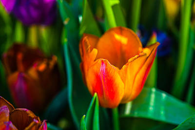 Poster featuring the photograph Tulips Enchanting 44 by Alexander Senin