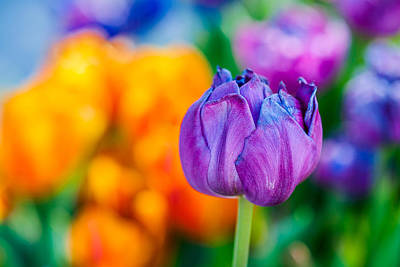 Poster featuring the photograph Tulips Enchanting 46 by Alexander Senin