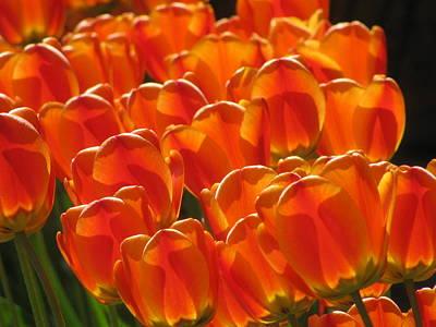 Tulips In Light Poster