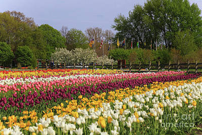 Tulips In Rows Poster