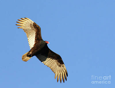 Turkey Vulture Poster by Debbie Stahre