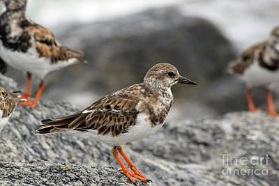 Turnstone Female Poster by William Tasker