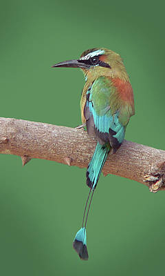 Turquoise-browed Motmot Poster