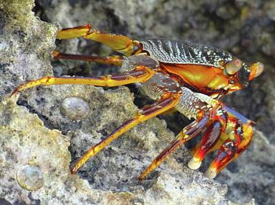 Turtle Bay Resort Watamu Kenya Rock Crab Poster by Exploramum Exploramum