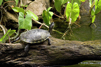 Turtle On Rock Poster